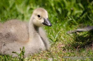canadian goose baby