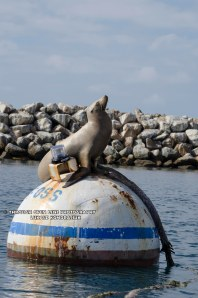 california sea lion 2