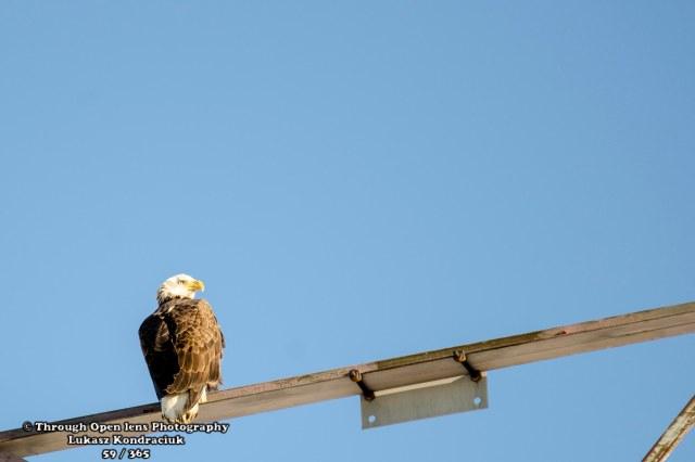 bald eagles 1