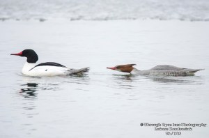 Common Merganser 2