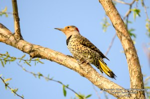 Northern Flicker woodpacker