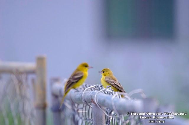 yellow warbler 1
