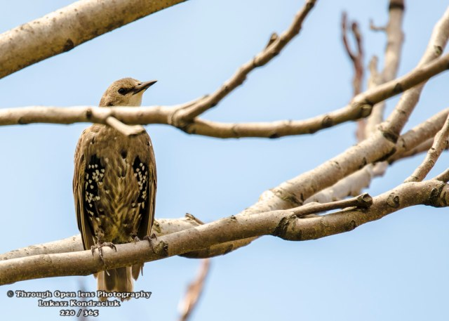 European Starling 2