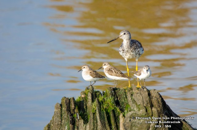 Greater Yellowlegs 1