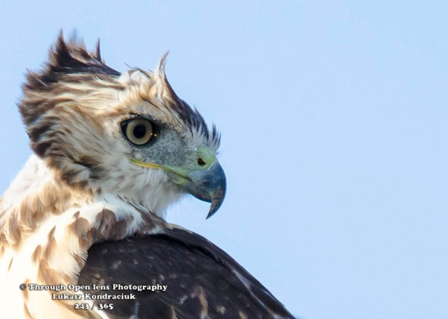 Red-tailed Hawks1