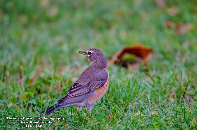 American Robin 1