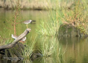 Greater Yellowlegs 3