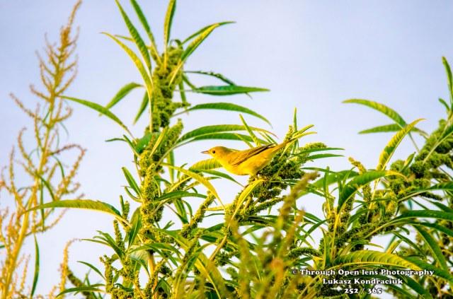 Yellow Warbler 2