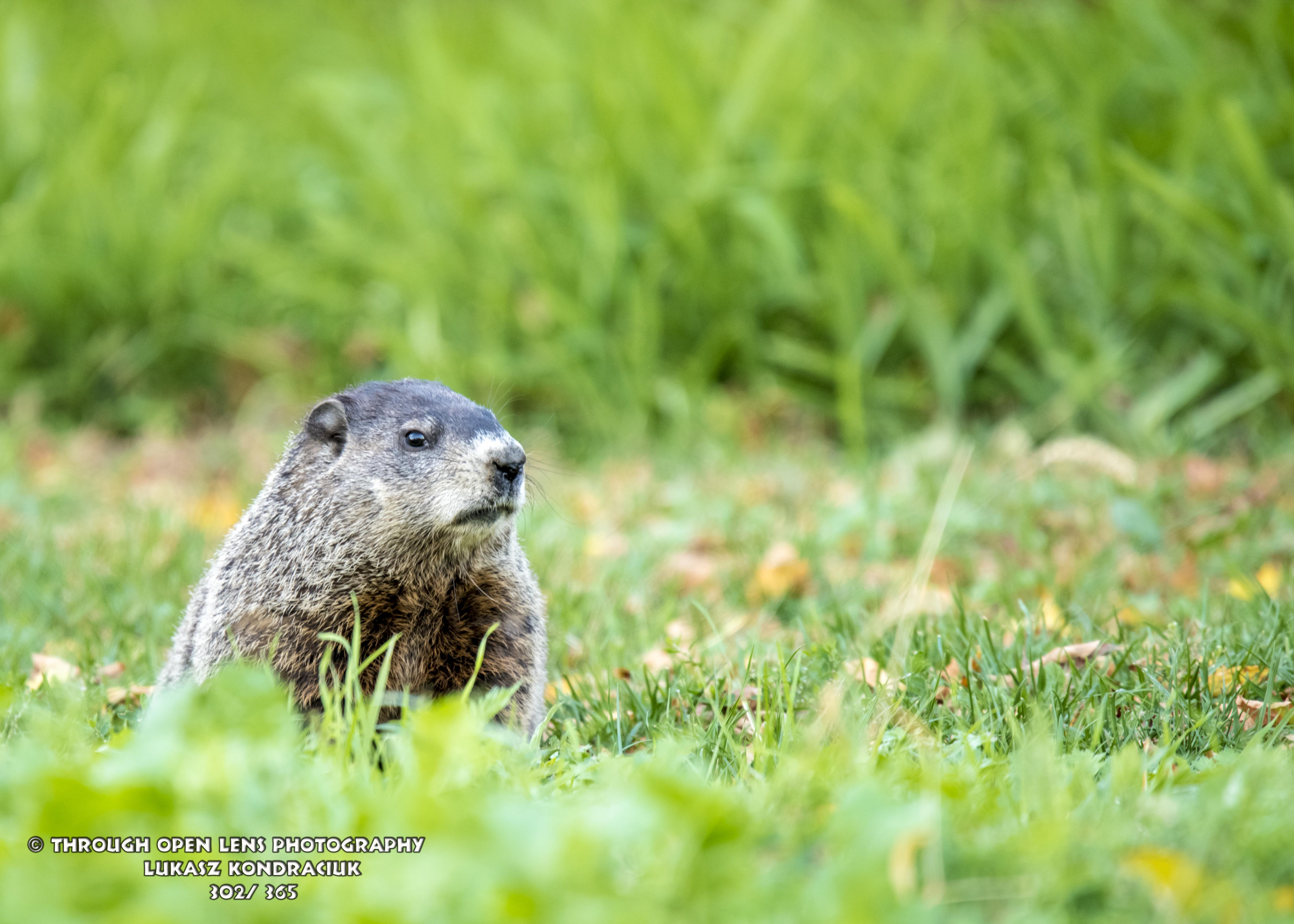How Much If A Woodchuck Groundhog