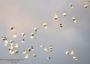 Snowy Egrets Flock