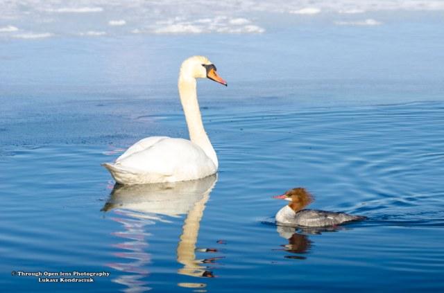 common merganser female and swan