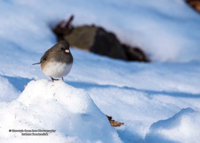 Dark-eyed Junco 1