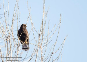 Zone Tailed Hawk
