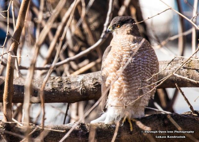 Cooper's Hawk 1