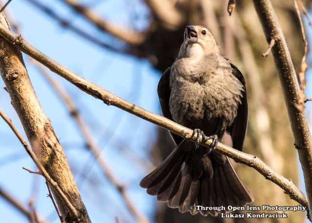 Brown-headed Cowbird ( Female )
