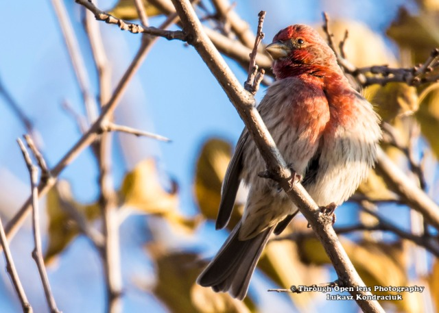 House Finch 1