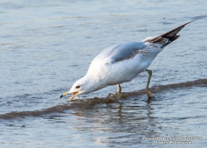 Ring-billed Gull 1