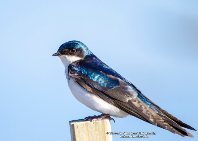 Tree Swallow