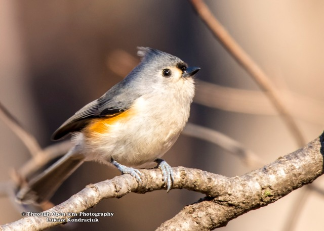 Tufted Titmouse 2