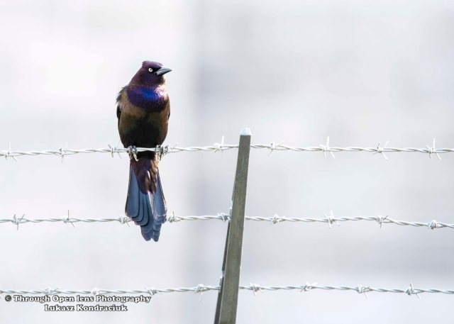 Common Grackle 1
