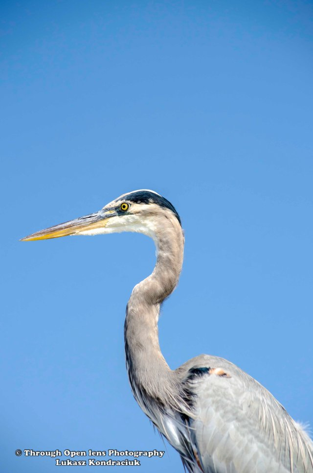 Great Blue Heron 3