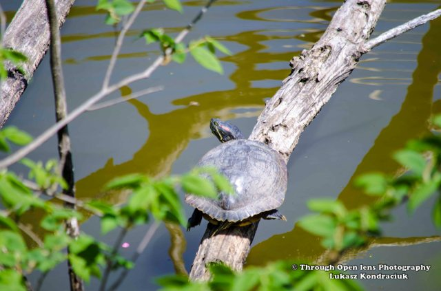 Red-Eared Slider Turtle 1