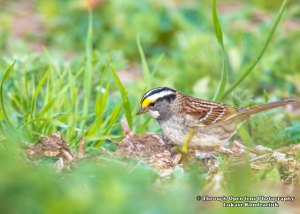White-throated Sparrow 1