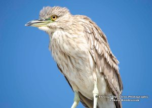 Black-crowned Night-Heron 1