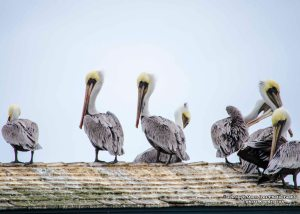 Brown Pelicans 1