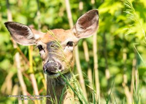 White-Tailed Deer 2