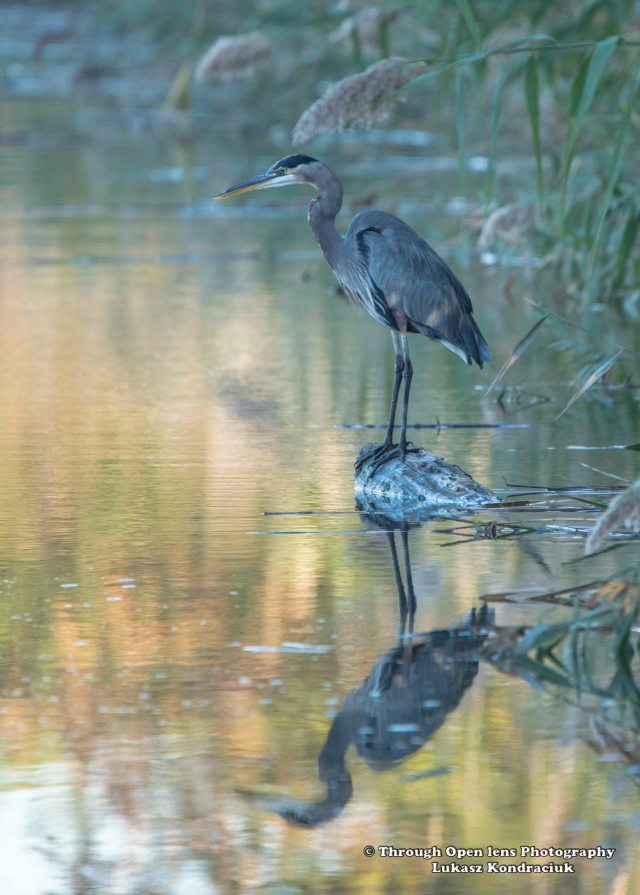 Great Blue Heron 4
