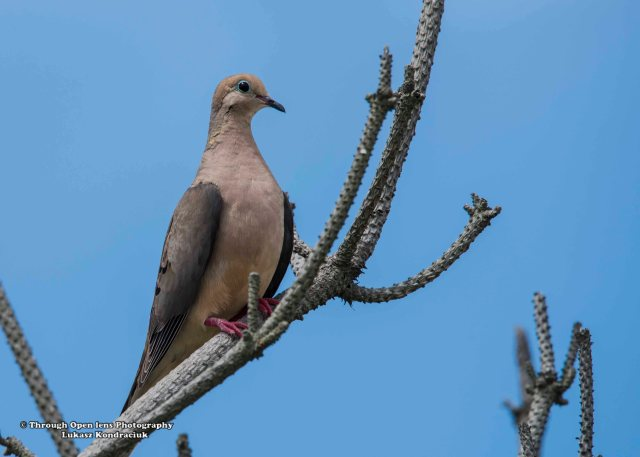 Mourning Dove 1