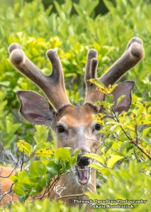 White-Tailed Deer 3