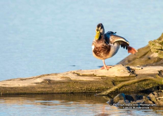 mallard-duck