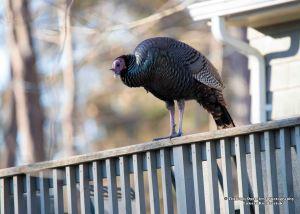 wild-turkey-1