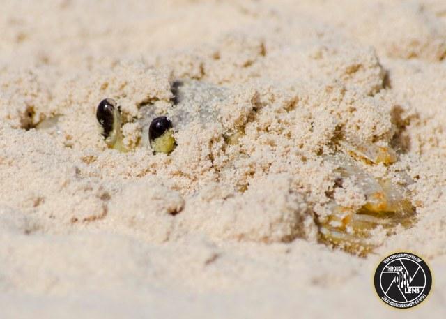 atlantic-ghost-crabs