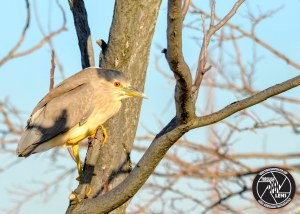 black-crowned-night-heron-tree
