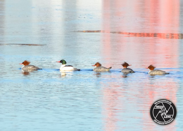 common-merganser-1
