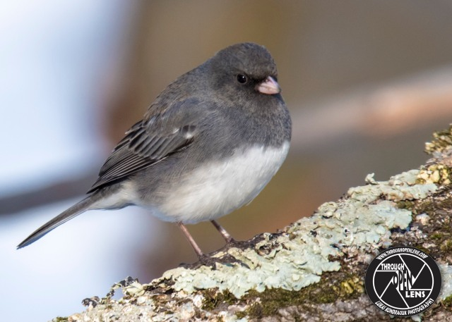 dark-eyed-junco-2