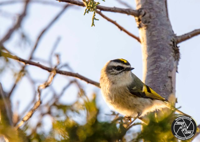 golden-crowned-kinglet