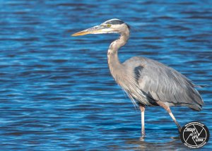 great-blue-heron-water