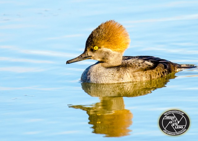hooded-mergansers-female
