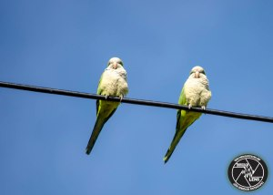 monk-parakeets-online