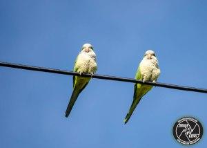 monk-parakeets-online