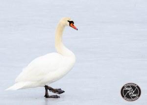 mute-swan-on-ice