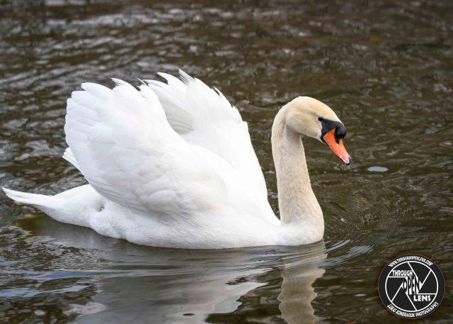 mute-swan-swimming