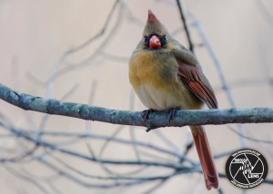 northern-cardinal-4