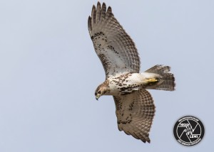 red-tailed-hawk-hawkward