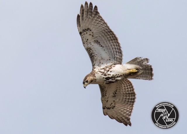 red-tailed-hawk-hawkward