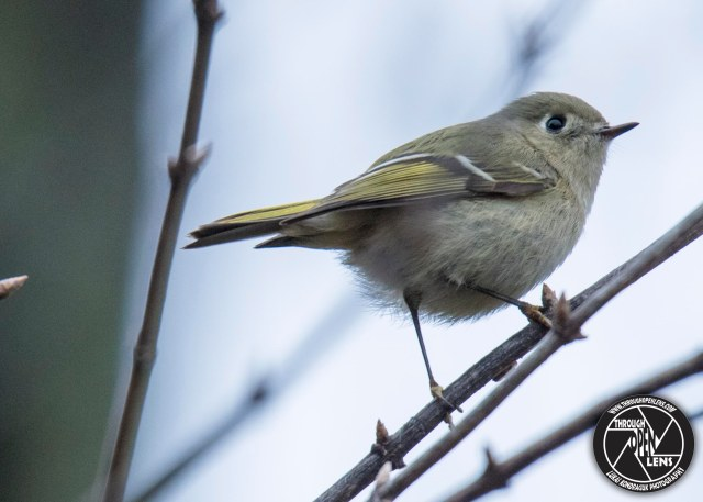 ruby-crowned-kinglet